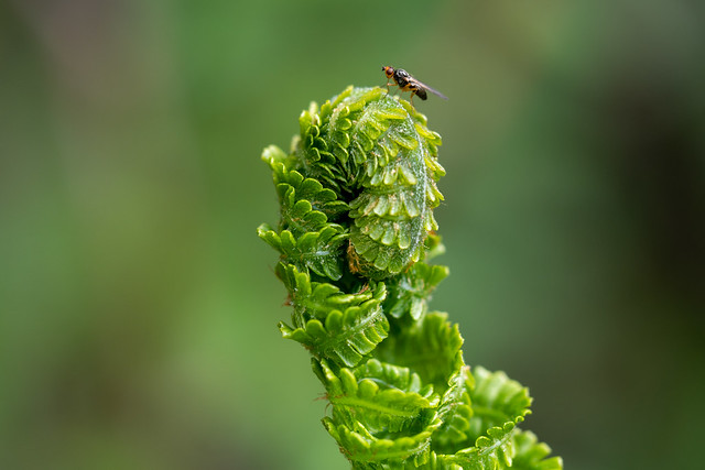 Farn mit einer  Fliege im Garten - Fern with a fly in the garden