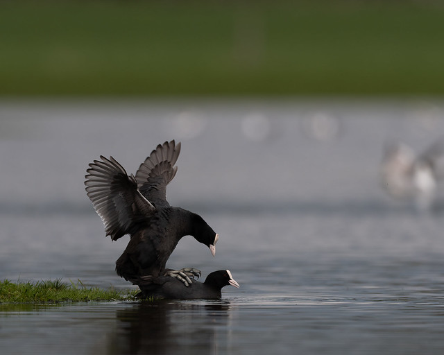 Coots mating