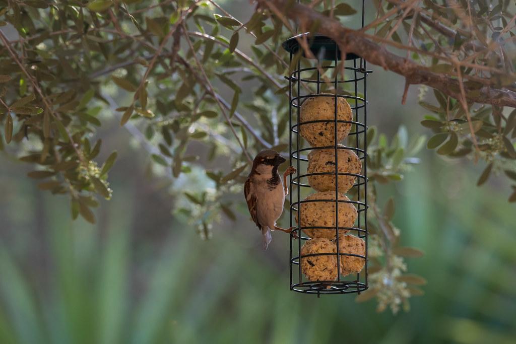 2D3A3289 Sparrow
