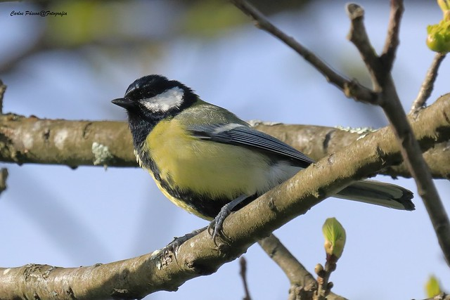 Chapim-real (Parus major) Viseu