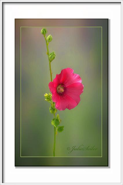 0-Alcea rosea