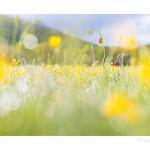 Fritillaria montana