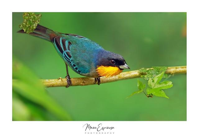 Tangara Goliamarilla, Iridosornis analis, Yellow-throated Tanager. San Pedro, Baños, Tungurahua, Ecuador