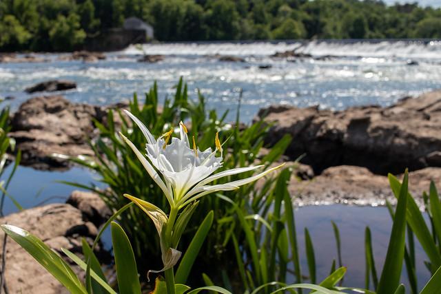Augusta Shoals Spider Lily below the Augusta Diversion Dam