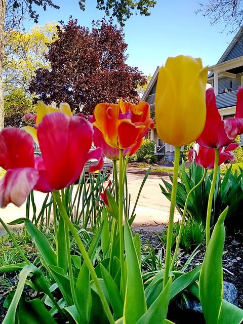 Street Display Tulips - 09