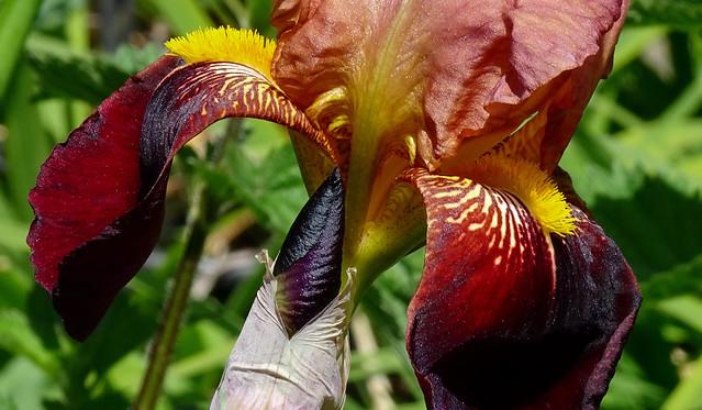 Bronze bearded Iris (+1)