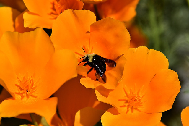 Bee in the poppies