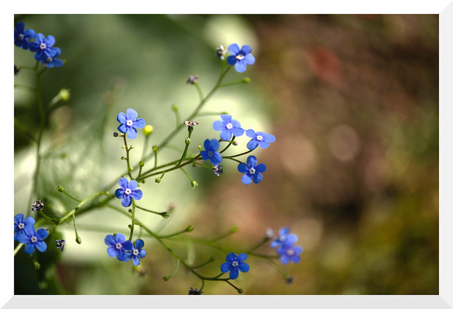Beautiful May: Forget Me Not - 1 (of 13) - Nikon D50 with Nikkor DX AF-S 55-200mm 1:4-5.6 G ED non-VR Zoom