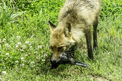 Red Fox with Grackle at Viriditas #5