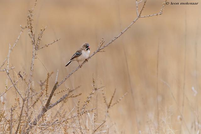 Scaly Feathered Finch (Baardmannetjie)