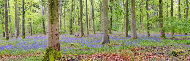 Bluebells in Crosspots Wood