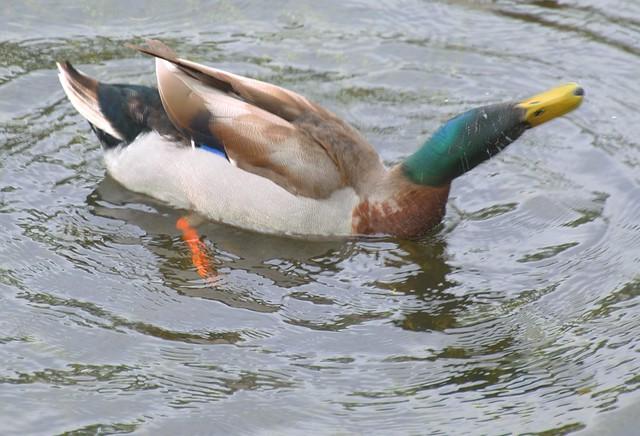 Duck shaking head