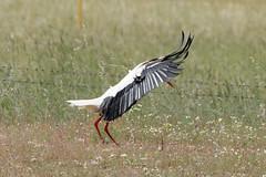 Ciconia Ciconia (Cigogne blanche) - Parque Nacional de Cabaneros - 2021 05 13 - 12_DxO