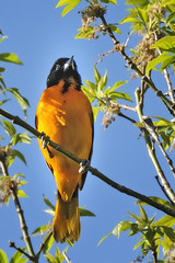 Baltimore Oriole May 15v2