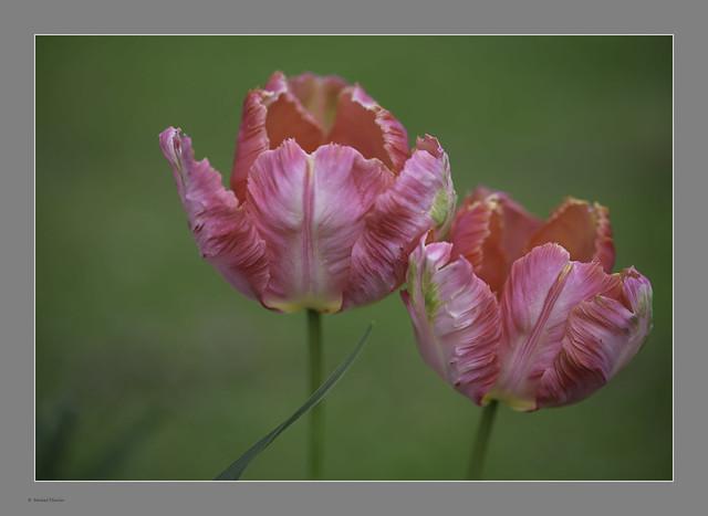 Tulips & Bokeh