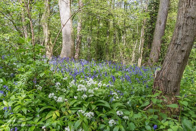 Woodland Wild Garlic and Bluebells May 2021