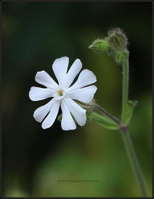 Silene latifolia Poir. ssp. alba (Mill.) Greuter et Bourdet, White Campion, Bijeli golesak (Hr), Domac, R., 1994, 8451 Bot, 20210513 MeragLučica