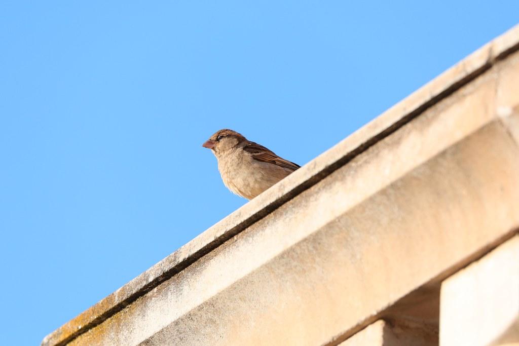 2D3A3196 Sparrow