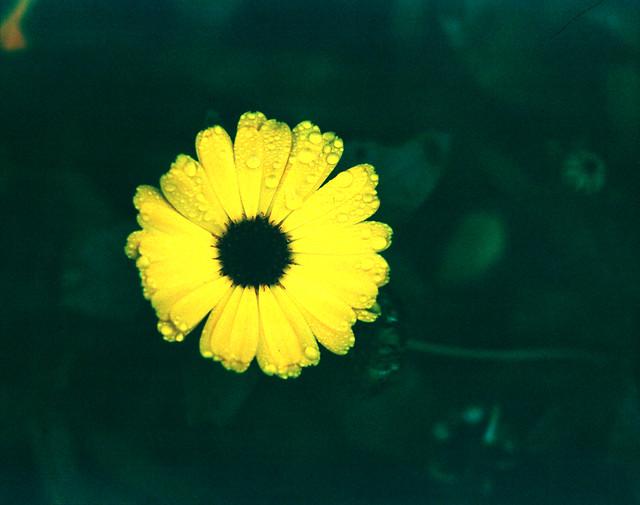 Pentax 67 II: Fuji Velvia Flower