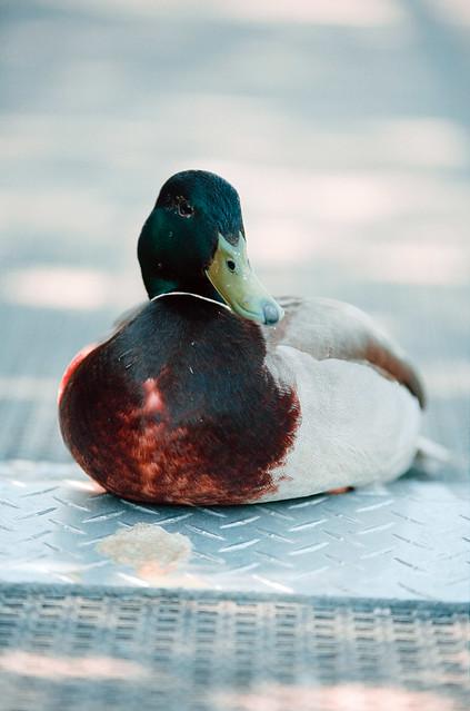 Quack-a Lack-a