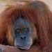 "<p><a href=""https://www.flickr.com/people/154721682@N04/"">Joseph Deems</a> posted a photo:</p>  <p><a href=""https://www.flickr.com/photos/154721682@N04/51183107863/"" title=""Orangutan""><img src=""https://live.staticflickr.com/65535/51183107863_b758a0685c_m.jpg"" width=""213"" height=""240"" alt=""Orangutan"" /></a></p>  <p>Fort Worth Zoo</p>"
