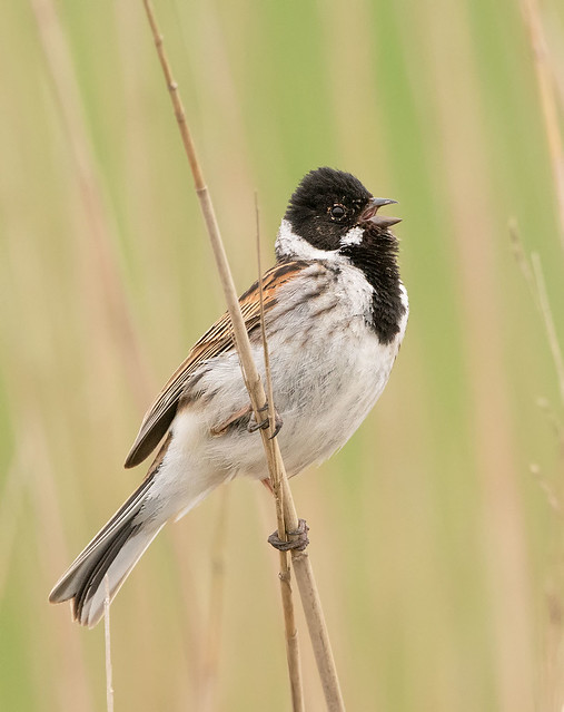 Common Reed Bunting, Rietgors