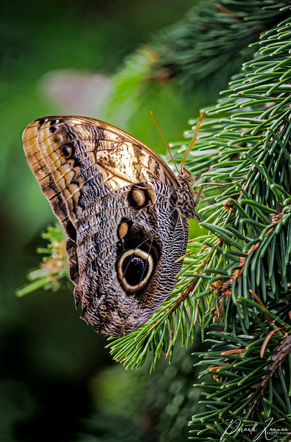 Gold-edged Owl Butterfly
