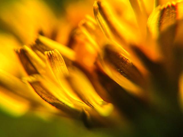 A bloomin' dandy (SS)