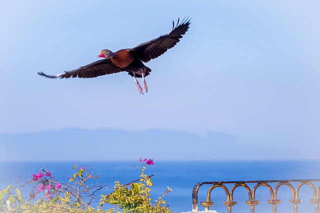 Black- bellied Whistling Duck.
