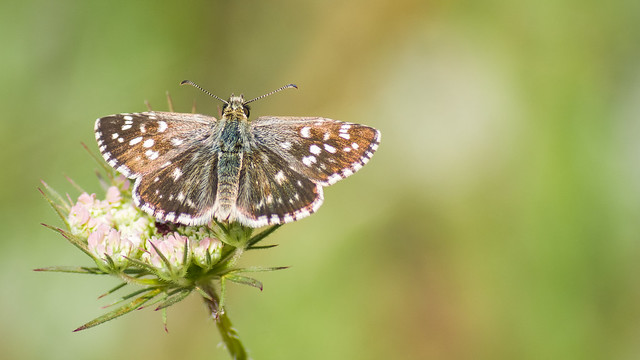 Maculated Skipper Butterfly