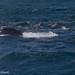 Humpback Whale & California Sea Lions.jpg
