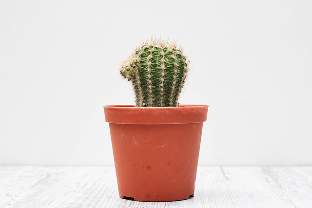 Small indoor cactus plant in a pot
