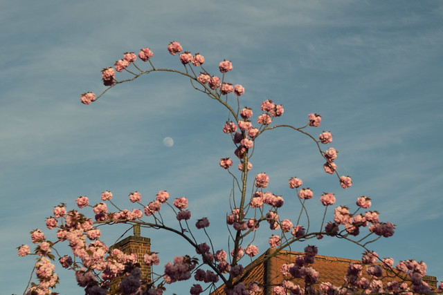 Blossom and moon