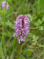 Orchis x hybrida