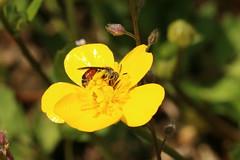 Andrena labiata - Ehrenpreis-Sandbiene
