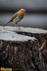 A young Robin.