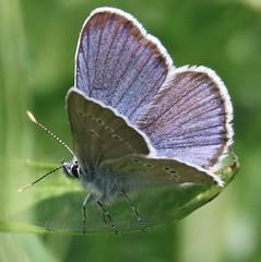 Rotklee-Blau0308uling, (Cyaniris semiargus)