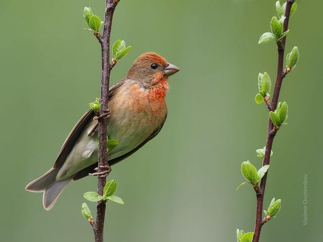Common rosefinch - Чечевица