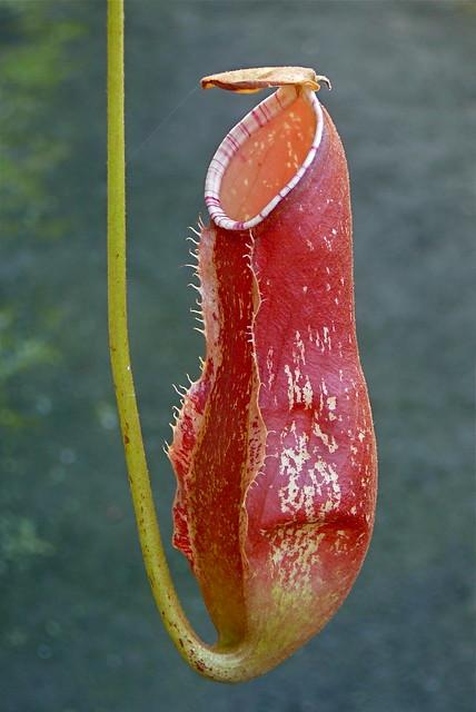 Nepenthes khasiana  Inde