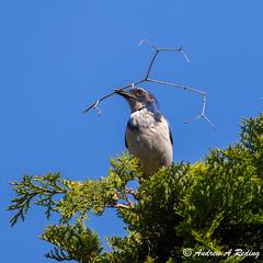 California scrub jay with twig for nest
