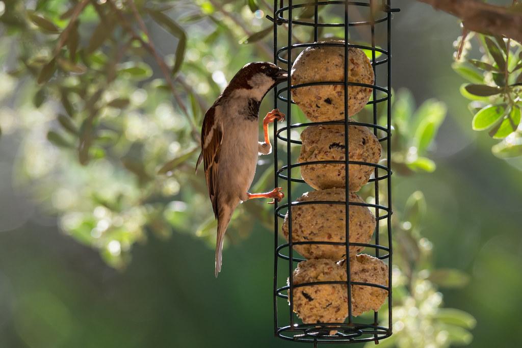 2D3A3259 Sparrow