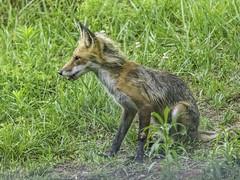 Young Red Fox at Viriditas #7
