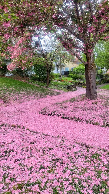 Showers of blossoms