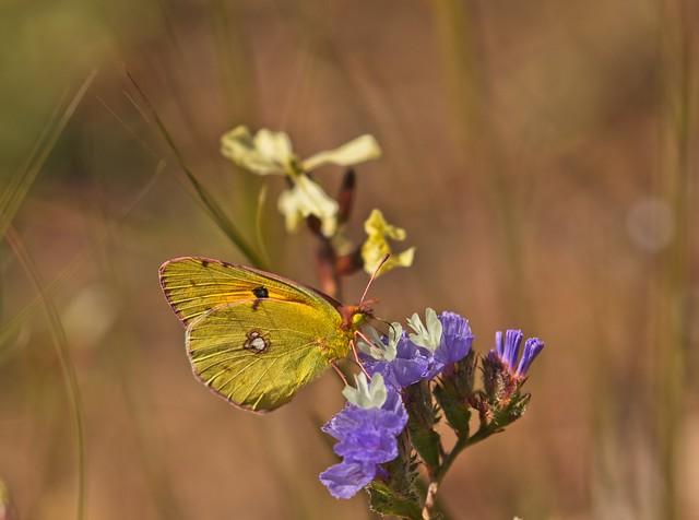 sounion spring fauna