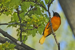 Baltimore Oriole May 15