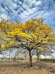 Flor amarillo o araguaney del llano Colombiano para el mundo ! Me encanta apreciar las texturas y diseu00f1os que nos da la naturaleza !
