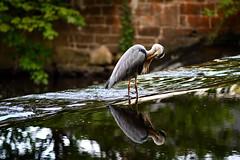 The model bird on River Dodder in Dublin.