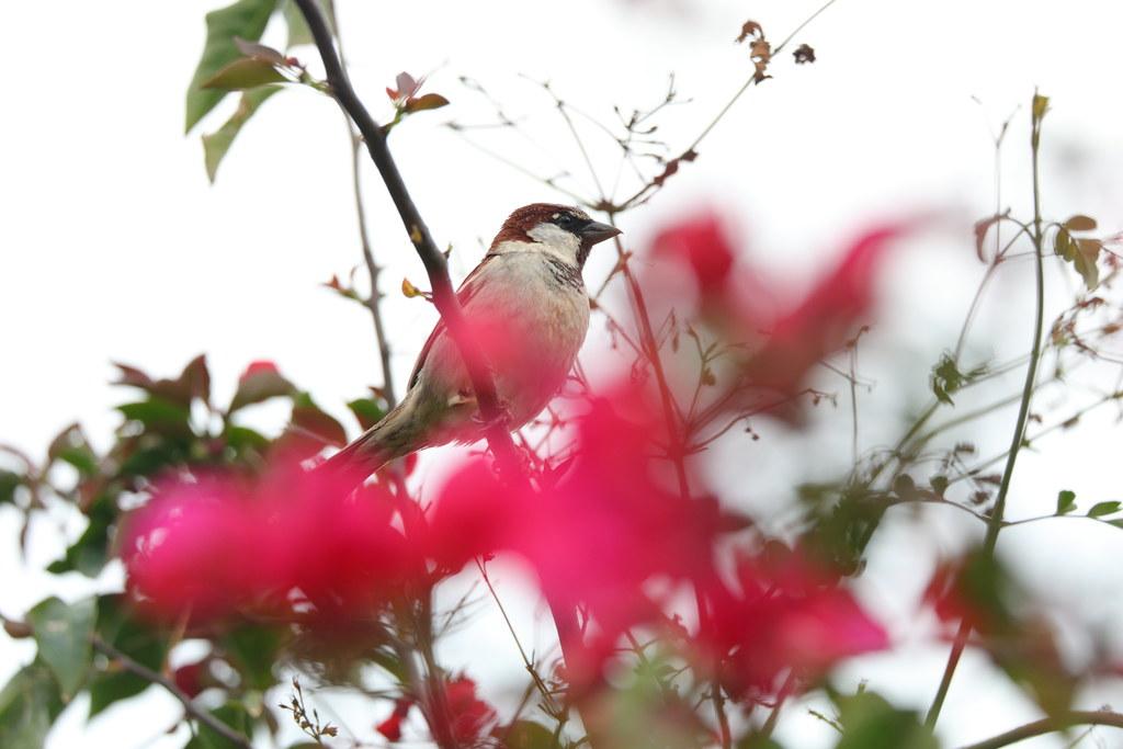 2D3A3229 Sparrow