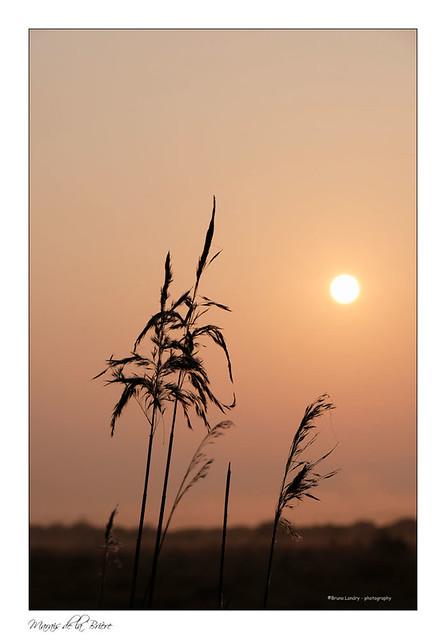 Graminées et soleil levant