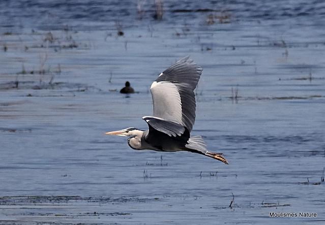 0S8A5382. Grey Heron (Ardea cinerea) ad